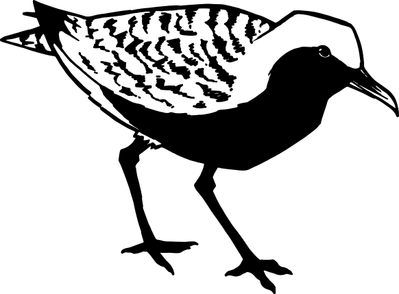 Black Bellied Plover drawing