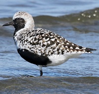 Black-Bellied Plover Photo by Tom Rowley