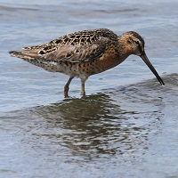 Dowitcher Photo by Tom Rowley