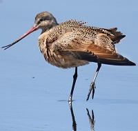 Marbled Godwit Photo by Tom Rowley