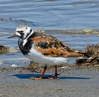 Ruddy Turnstone Photo by John Whitehead