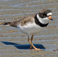 Semi-Palmated Plover Photo by John Whitehead