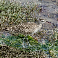Whimbrel Photo by John Whitehead
